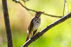 Hermit Thrush (Tommy Quarles) Tags: hermit thrush bird jefferson county kentucky louisville anchorage trail canon 7d mark ii