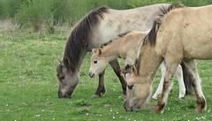 Spring in the Hoeksewaard (daaynos) Tags: spring konikhorses veulen foal hoeksewaard dehoekschewaard horses