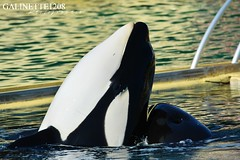Inouk at sunset (GALINETTE1208) Tags: marineland antibes orque orca nikon killer whales d5200 seaworld shamu inouk wikie keijo moana dolphin cetacean cetace