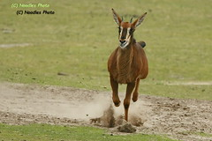 Full Speed (Noodles Photo) Tags: sableantelope rappenantilope säugetier hippotragusniger bovidae hornträger antilope antelope beeksebergen safaripark safariparkbeeksebergen niederlande canoneos1dmarkiii ef100400mmf4556lisusm inexplore
