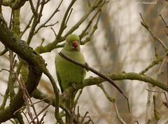 Parrot (Natali Antonovich) Tags: belgium belgique belgie aparrot parrot bird nature tervuren