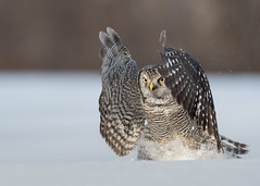Chouette épervière Surnia ulula - Northern Hawk-Owl (Anthony Fontaine photographe animalier) Tags: