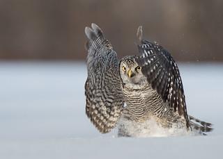 Chouette épervière Surnia ulula - Northern Hawk-Owl
