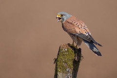 Common Kestrel (Falco tinnunculus) (Joe Turner - www.joeturnerphotography.co.uk) Tags: kestrel wildlife nature landscape bird perch sharp beak 400mm f28 canon 5d mark iii