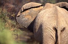 ZOO0095-3 (Akira Uchiyama) Tags: 動物たちのいろいろ 耳 耳アフリカゾウ