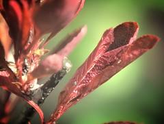 inklusive Läuse (silkebahr) Tags: zierstrauch blätter natur brandenburg color macro licht sonne spring