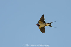 Swallow in Flight (phat5toe) Tags: swallow birds feathers avian flight wildlife nature wigan flashes greenheart nikon d7000 tamron150600mm