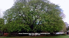 Horse Chestnut tree (Very wide) in Cambridge park 13th April 2017 001 (D@viD_2.011) Tags: horse chestnut tree very wide cambridge park 13th april 2017