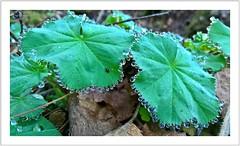 Ein Kranz aus Wassertropfen (Norbert Kaiser) Tags: pflanze wassertropfen frühling badschandau botanischergarten blatt smartphonephotography microsoftlumia650