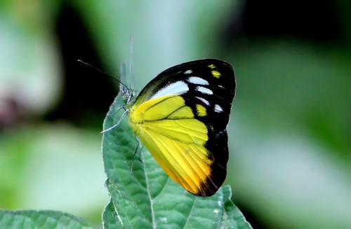 IMG_9926/Thailand/Koh Samui Island/Cepora Judith Malaya/ Male/Orange Gull/