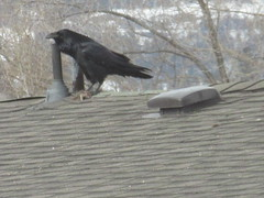 Care for a rat? (jamica1) Tags: okanagan kelowna bc british columbia canada crow rat rodent corvid scavenging