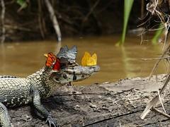 (Marta Pavón) Tags: cocodrilo cocodrile reptil river butterflies mariposas plants plantas beautiful wood animal nature naturaleza landscape