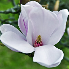 """Elegance of Magnolia"" © April 2017 by Silva Wischeropp aka Silva Capitana (SILVA CAPITANA) Tags: eleganceofmagnolia magnolia flower flora floral stilllife closeup blossom magnoliatree nature green white rosa pink whiteleafes leafes whiteblossoms spring springtime landscape flowerpower love flowerlovers springfeeling poetry poem beautyofnature magicflower magicblossom elegance botanicalgarden botanic botanical botanics garden flowergarden gardenofspring flowers magic"