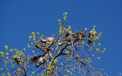 The tree with the birds (Ⓨ a s m i n e Ⓗ e n s +4 900 000 thx❀) Tags: tree nature birds pigeons blue bluesky bruxelles brussels town parc hensyasmine faune 7dwf