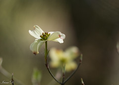 A peaceful Good Friday, to all (Irina1010) Tags: flower dogwood spring blossom white macro bokeh nature canon
