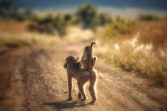 On the road (johannekekroesbergen) Tags: africa piggyback safari back baby young baboon animal bobbejaan road motherandchild ontheroad mother wildlife monkey pilanesberg baviaan riding nature