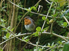 robin in the hedge (quietpurplehaze07) Tags: robin hedge greenery green branches garden