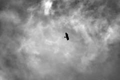 LEO_8253m (MILESI FEDERICO) Tags: milesifederico milesi montagna italia italy iamnikon inmontagna piemonte piedmont primavera wild nikon nikond7100 nital natura nature nat visitpiedmont valdisusa valsusa valledisusa valliolimpiche alpi alpicozie altavallesusa altavaldisusa europa europe d7100 dettagli 2017 cittàmetropolitanaditorino salbertrand bird uccello volatile fauna animale wildlife