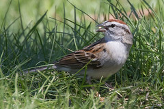 Chipping Sparrow 4-9-2017-2 (Scott Alan McClurg) Tags: emberizidae passeri passeroidea spasserina spizella animal back backyard bird chipping chippingsparrow eat life nature naturephotography neighborhood perch perching songbird sparrow spring suburbs tree wild wildlife woods yard