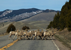 Montana Traffic Jam (ebhenders) Tags: rocky mountain bighorn sheep easter sunday drive phillipsburg montana rock creek road crossing mountains highway flock herd ram ewe