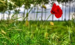 * Timidamente spuntano i papaveri  * Shyly poppies sprout  * (argia world 1) Tags: papaveri fiorispontanei erba verde argine campagna poppies wildflowers grass green embankment primavera springtime