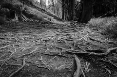VEIN (JTPhotographe) Tags: belgium life forest belgique branche arbre tree sol terre earth ground bw black white vie racines roots b w plugged united states monochrome leven wit zwart grond aarde boom tak belgië bos monochroom 根 生活 白 黑 b&w 地面 地球 土 树 支 比利时 森林 单色 wurzeln leben erde boden baum zweig belgien einfarbig wald