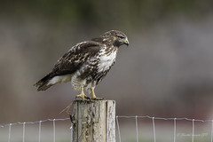 Welcome to Cowichan- Happy Fence Friday- Red-tailed Hawk Style (Chantal Jacques Photography) Tags: happyfencefriday redtailedhawk wildandfree bokeh somenosmarsh welcometocowichan hff
