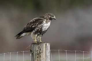 Welcome to Cowichan- Happy Fence Friday- Red-tailed Hawk Style