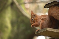 Red Squirrel At Benmore Botanic Gardens 1 (Sybalan,) Tags: benmoregardens argyll rbge red squirrel trees tranquility httpsybalanphotographyweeblycom cowal canon hide feeding feeders 760d 55250mm mammal outdoor cute furry