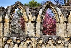 Spring Blossom amongst the ruins of St Mary's Abbey, York (robin denton) Tags: northyorkshire yorkshire spring abbey abbeyruins cherryblossom hdr windows historicbuildings history ruins stmarys york hccity
