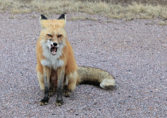 Show Me Your Teeth (Cindy's Here) Tags: fox wildlife sleepinggiantprovincialparkpasslake ontario canada canon 171365 ansh scavenger9