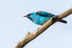 Focus (leo.vcastro) Tags: d7100 nikon ave bird pássaro saíazul azul saí blue bluedacnis dacnis dacniscayana cayana minas minasgerais brazil mg light iluminated iluminado luz
