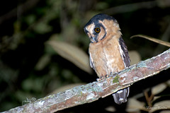Caburé-acanelado (Aegolius harrisii) (Wagner rocha) Tags: natureza barbacena coruja caburé avederapina owl bird birdwatching