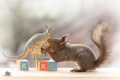 The K from kangaroo (Geert Weggen) Tags: red nature animal squirrel rodent mammal cute look closeup stand funny bright sun backlight staring watching hold glimpse peek up tail message communication letter woodenframe capitals numbers learning school child education learn baby word alphabet teacher kangaroo book kiss elephant geert weggen hardeko sweden bispgården jämtland