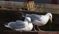 Arbroath 19 April 2017-0015.jpg (JamesPDeans.co.uk) Tags: gb greatbritain birds prints for sale unitedkingdom nature digital downloads licence scotland britain gulls herringgull wwwjamespdeanscouk man who has everything angus arbroath landscapeforwalls europe uk james p deans photography digitaldownloadsforlicence jamespdeansphotography printsforsale forthemanwhohaseverything