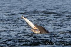Moray Firth Dolphin with Salmon (cjdolfin) Tags: chanonrypoint fortrose highland morayfirth rossshire scotland scottish tursiopstruncatus zephyr beach calf cetacean cjdolfin dolphin eat fish mammal nature odontocete predator prey salmon shore teeth wildlife