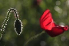 A naître (Cigaleto) Tags: coquelicot fleur pavot champ nature rouge été poils cocon