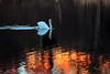 """Swan on """"fire"""" (Daniel Q Huang) Tags: swan outdoor lake pond sunlight colorful refelections"""