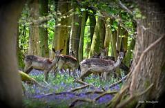 Fallow Deer (does) - Ashridge Forest (Alan Woodgate) Tags: