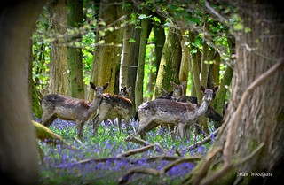 Fallow Deer (does) - Ashridge Forest