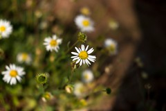 Sondre (voristrip) Tags: ifttt 500px field nature flower bright closeup leaf grass garden 35mm flora outdoors wild blooming chamomile xt10
