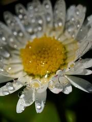 Rosée (Jacques Borruel) Tags: nature couleurs reflets lumière light fleur grosplan macro jardin