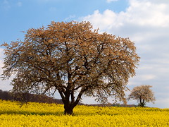 TWO  TREES IN RAPEFIELD P4145597 (hans 1960) Tags: outdoor nature natur landschaft landscape trees bäume rapsfeld rapefield himmel sky farben spring frühling printemps primavera gelb yellow colours blau blue germany