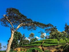 IMG_5752-2 (mohamedmusthakeem) Tags: teaestate srilanka lanka hillcountry hatton