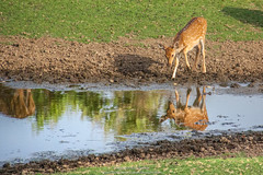 Sambar Reflection I1600 200mm f5.6 s3200 -2/3EV AP Evaluative Metering (mahesh.kondwilkar) Tags: deer nature naturephotography rajasthan ranthambhore reflection sambar wildlife wildlifephotography india incredibleindia