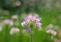 Subtle (michael.veltman) Tags: flowers flower bokeh 420 happy
