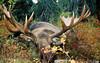 Alaska Moose and Bear Hunt - Dillingham42