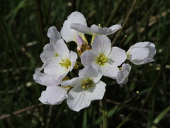 Cuckooflower (deannewildsmith) Tags: earthnaturelife staffordshire cuckooflower plant