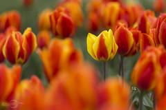 Tulips   Tulpen (*Photofreaks*) Tags: gruga grugapark park essen ruhr ruhrgebiet nrw nordrheinwestfalen deutschland germany tulpen tulips flowers blumen adengs wwwphotofreakseu
