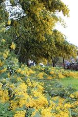 mimosas, finca, huerta. barros 048 (Pablo Alvarez Corredera) Tags: nieve barros vega felguera nevada mimosas rotas partidas arbol arboles rosales rosas petalos helados mojados agua flores flor huerta finca fuertos arboleda